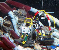 Chemical Sensor Deployed into a Riftia Patch